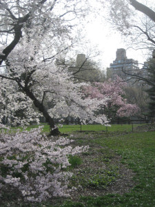 Cherry-trees-with-skyline,-Central-Park